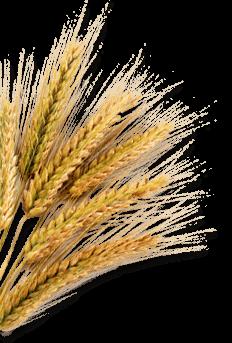 barley png - photo #2